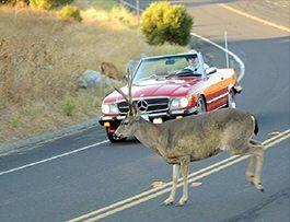 driving-tips-deer-hiting