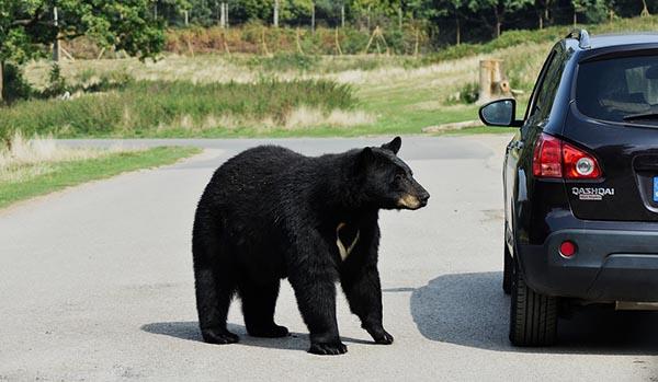 animal attacks on cars